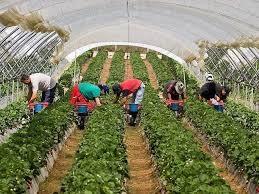 Se prorrogan durante 2016 las contrataciones en origen de trabajadores agrícolas de temporada