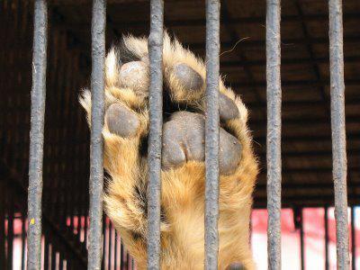 Condena por maltrato animal por dejar morir a un tigre que tenía encerrado en su taller