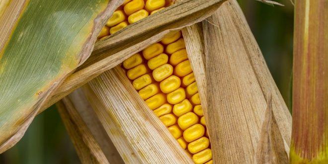 Los Estados miembros no pueden adoptar medidas de emergencia en relación con los alimentos modificados genéticamente si no es evidente que existe un riesgo grave