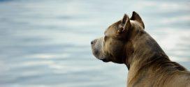Condenado por incitar a su perro de raza peligrosa a atacar a un hombre