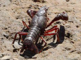 """La sentencia del TJUE """"no cambia nada""""según el sector del cangrejo rojo"""