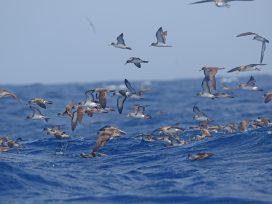 Importante sentencia contra la caza de pardelas