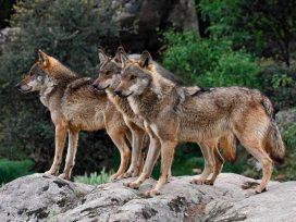 El control poblacional de lobos es llevado al Supremo